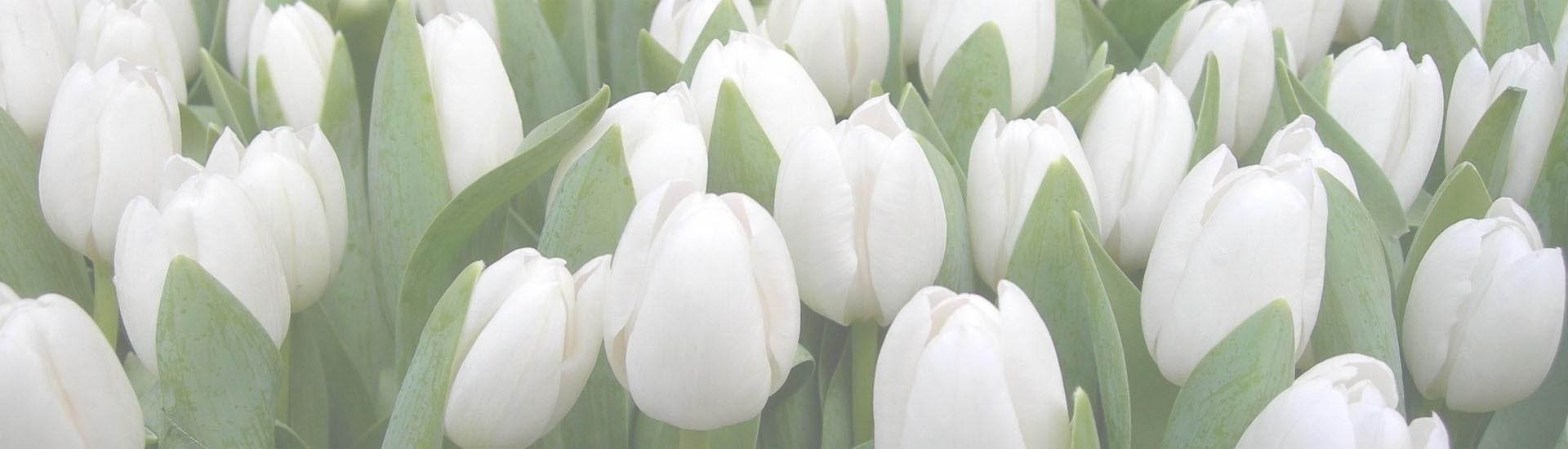 Floricultura Mel Flores - Banner tulipas