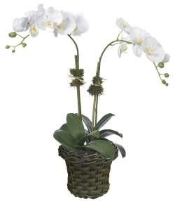 Orquídea Dupla Haste